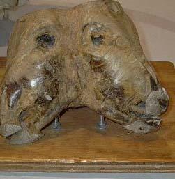2-headed-calf